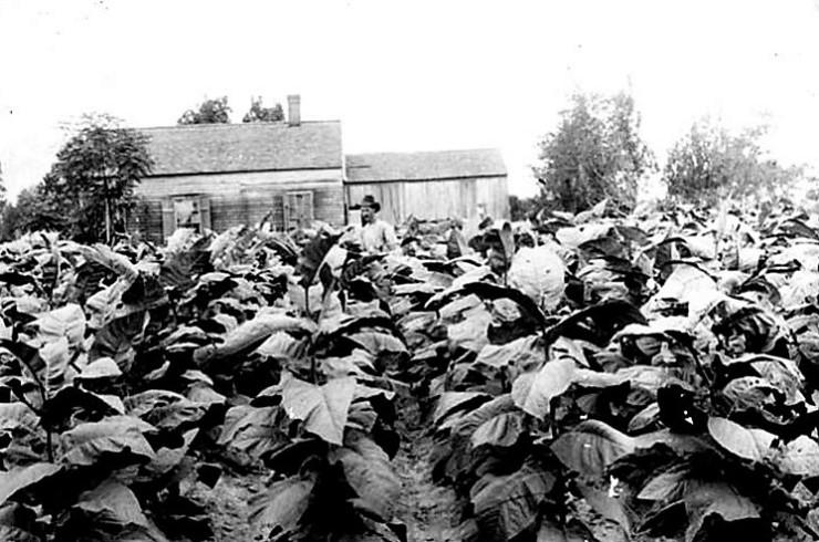 perique tobacco 1880's2