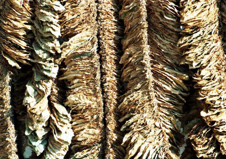 Basma-tobacco-drying