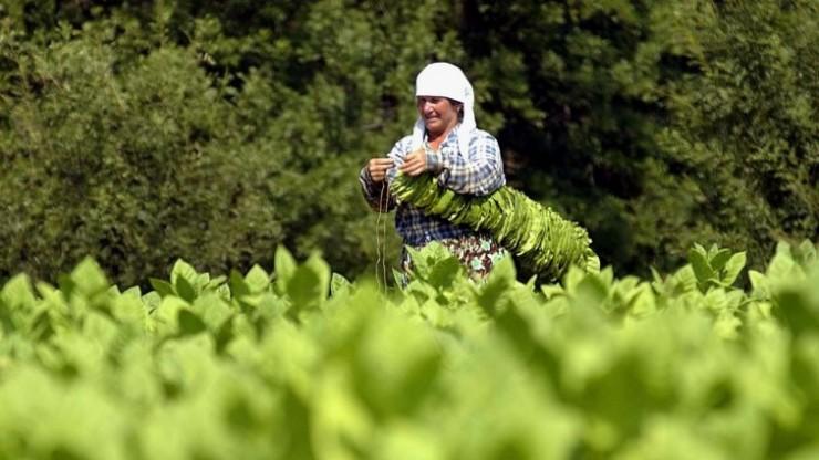 Tabakernte Bulgarien